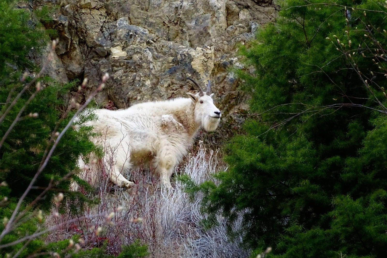 Mountain Goat Olalla Keremeos BC