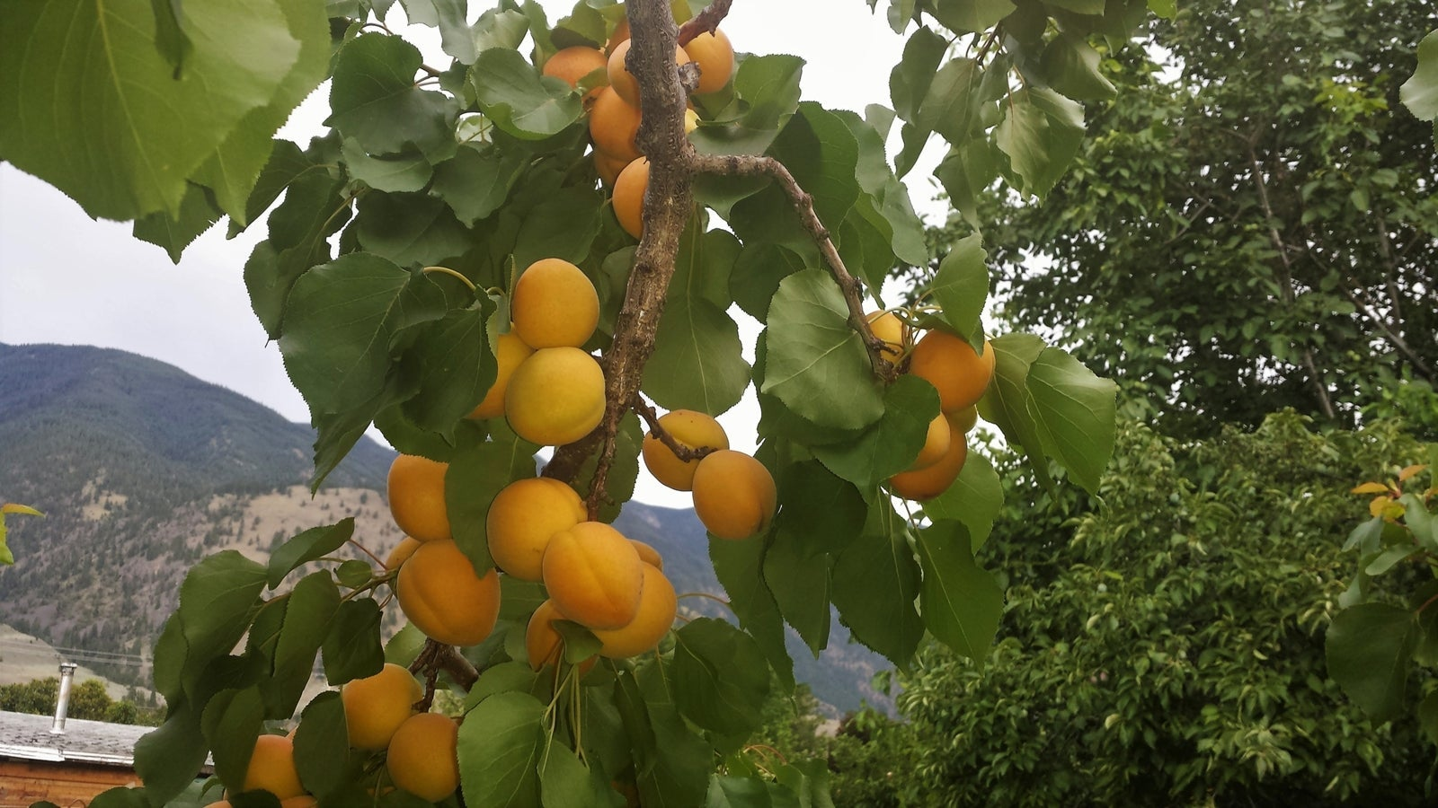 Apricots Keremeos BC Real Estate