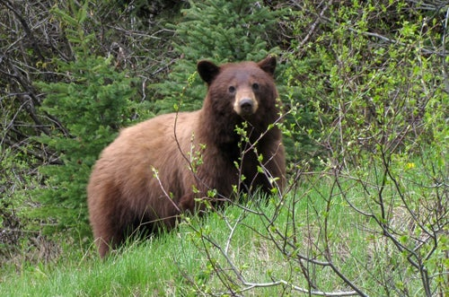 Brown bear in Princeton Bc